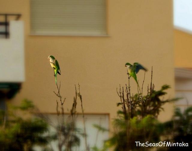 Parrots in Torre del Mar