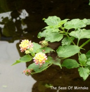 Black Butterflies and Flowers