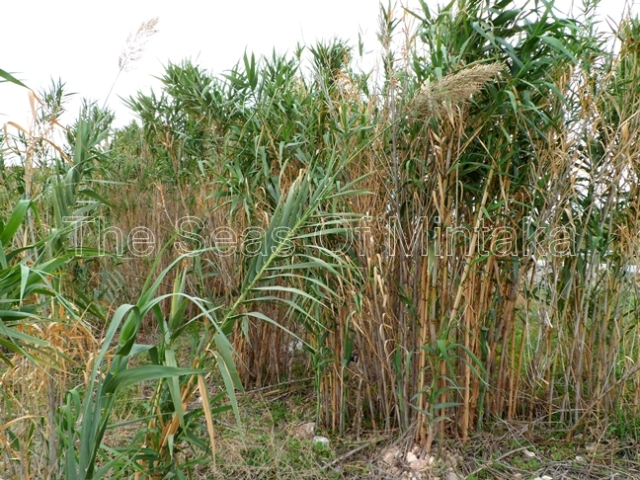 Sugar Cane at El Tarajal Malaga