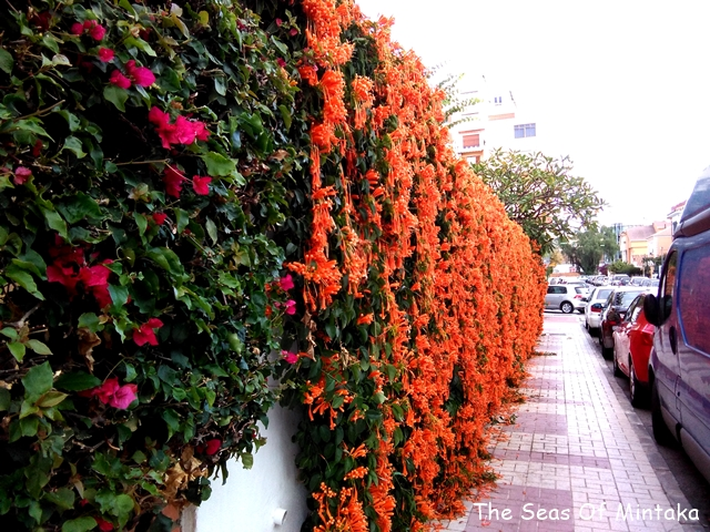 Mexican Flame Vine